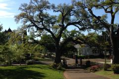 Oak Tree at Stanton Hall