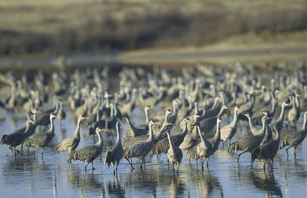 The Great Sandhill Crane Migration Tour | Moostash Joe Tours
